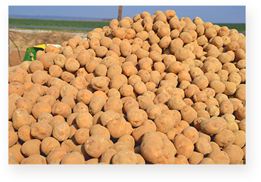 achat de pomme de terre en gros - cooperative agricole